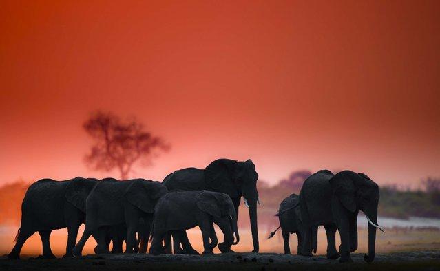 Herd of elephants. (Photo by Wim van den Heever/Caters News)