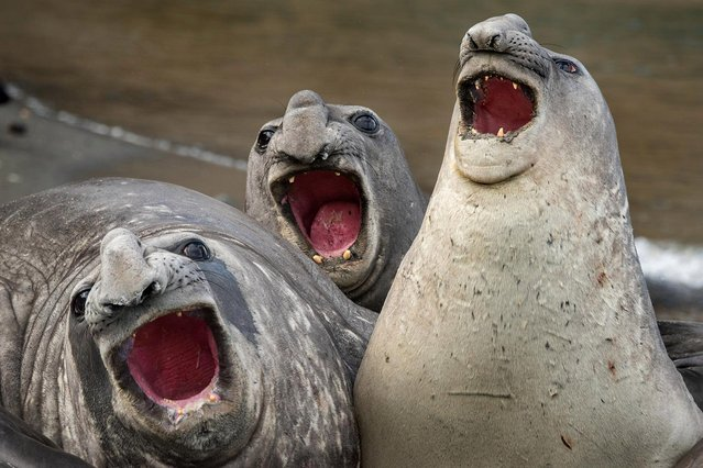 "Three elephant seals put on a show in Roie Galitz's ""Three Tanors"", taken on January 7, 2016 in South Georgia Island. (Photo by Roie Galitz/CWPA/Barcroft Images)"