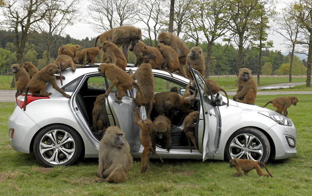 Baboons climb on a Hyundai i30 hatchback at Knowsley Safari Park during a promotional event by the manufacturer to test the car's durability, in Preston, Merseyside May 1, 2012