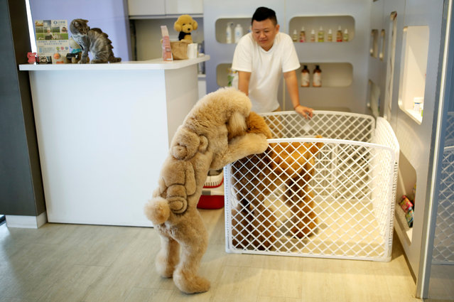 A dog with a teddy bear design cut into its fur is seen at a pet shop, in Tainan, Taiwan June 19, 2016. (Photo by Tyrone Siu/Reuters)