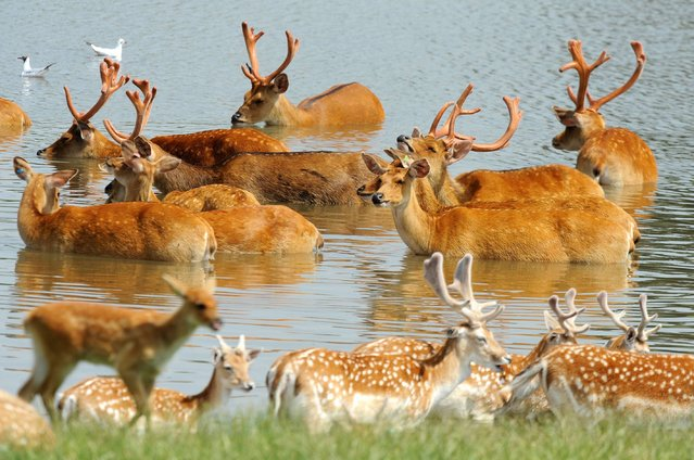 A photo issued by ZSL Whipsnade Zoo of swamp deer cooling themselves in the lake at the zoo in Bedfordshire, on July 25, 2014. (Photo by Tony Margiocchi/PA Wire/ZSL)