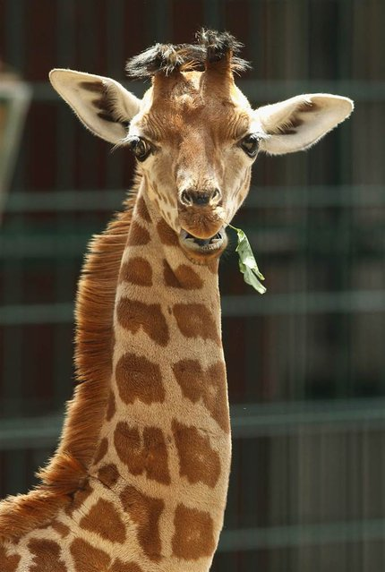 Jule, a baby Rothschild giraffe, snacks on a branch in her enclosure at Tierpark Zoo