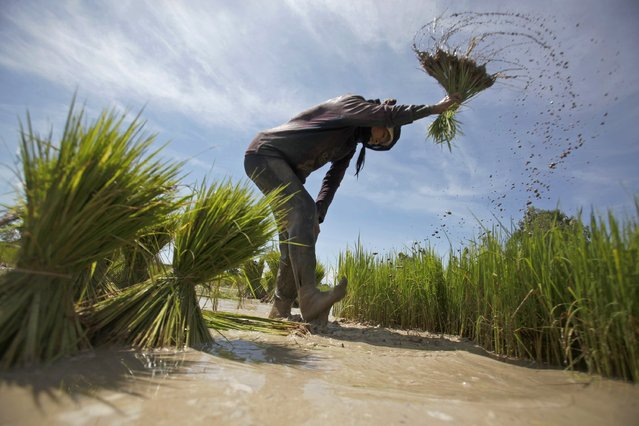 A girl works at a rice paddy field on the outskirts of Phnom Penh August 20, 2014. (Photo by Samrang Pring/Reuters)