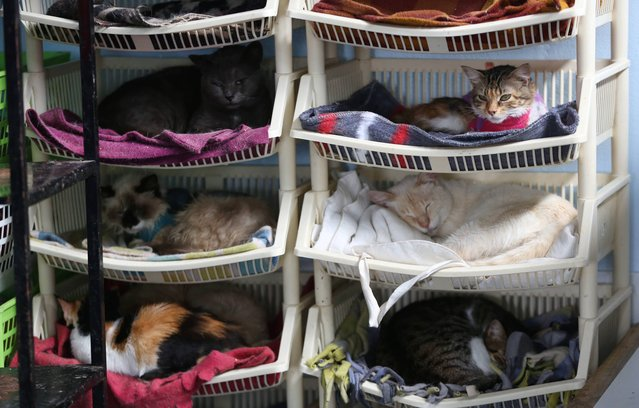 In this August 2, 2014 photo, a group of sick cats rest in Maria Torero's hospice for felines suffering from Leukemia, at her home in Lima, Peru. She estimates she spends about $1,785 a month to care for them, half of that from donations and the other half from her job as a private nurse. (Photo by Martin Mejia/AP Photo)