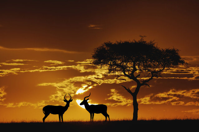 Umbrella Thorn Acacia and two male Impala silhouetted at sunrise, Masai Mara Game Reserve, Kenya, Africa. (Photo by Adam Jones/Dantia Delimont/Caters News/Ardea)