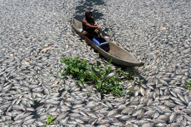 A man steers a wooden boat through dead fish in a breeding pond at the Maninjau Lake in Agam regency, West Sumatra province, Indonesia, August 31, 2016.  Thousands of fish at the fish farm of the Maninjau Lake died suddenly due to lack of oxygen caused by a sudden change in water conditions. (Photo by Muhammad Arif Pribadi/Reuters/Antara Foto)