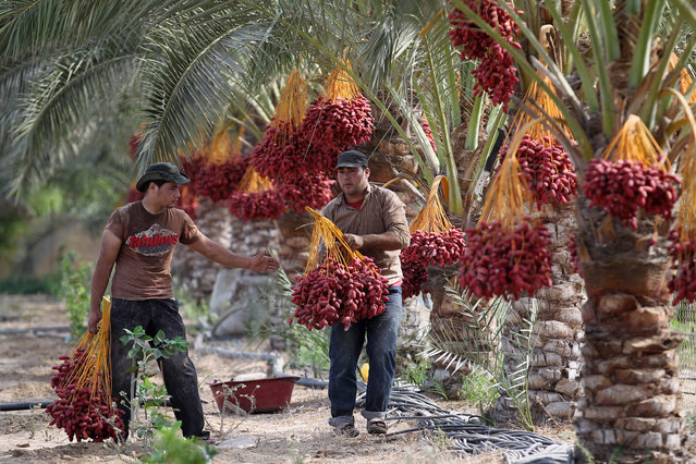 Palestinian farmers harvest dates in Khan Yunis, in the southern Gaza Strip, on September 30, 2015. (Photo by Said Khatib/AFP Photo)