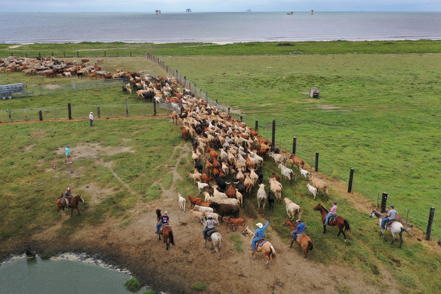 In this aerial view from a drone, cowboys round up cattle on a pasture next to the Gulf of Mexico to take them to safe ground before the possible arrival of Hurricane Laura on August 25, 2020 in Cameron, Louisiana. Ranch owner Roman Tatriot said he was rounding up about 600 cattle and with the help of neighbors expects to get them out before the hurricane arrives. Hurricane Laura is expected to hit somewhere along the Gulf Coast late Wednesday and early Thursday. (Photo by Joe Raedle/Getty Images)
