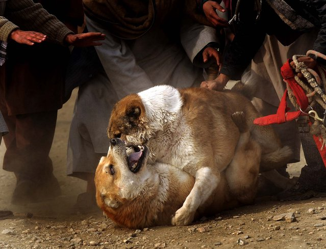 Afghan spectators look on as a dog bites the neck of another during a match in Kabul. (Photo by Massoud Hossaini/AFP Photo)