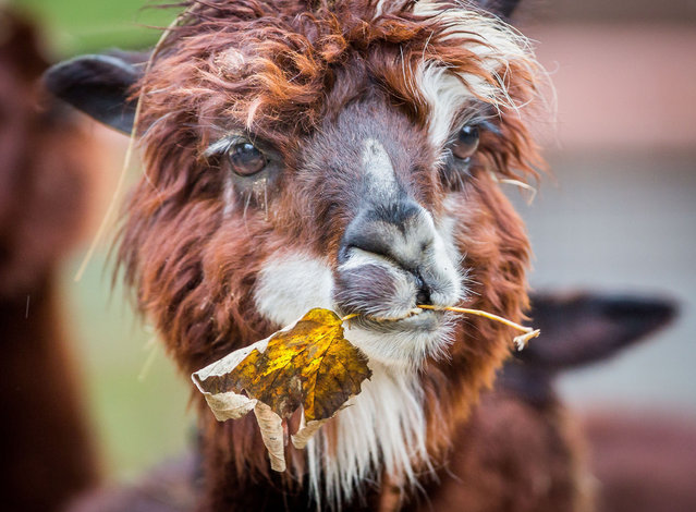 An alpaca chewing a leaf is pictured on November 18,  2014 in the zoo of  Frankfurt am Main, Germany. (Photo by Frank Rumpenhorst/AFP Photo/DPA)