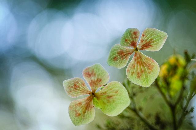 Winner, Young Garden Photographer of the Year. Hydrangea in Palo Alto, California, US. (Photo by Claire Wei/Yang Yu Wei/The Guardian)