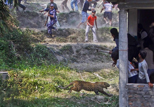 A leopard runs to at people as they run for cover in Katmandu, Nepal, on April 10, 2013. According to reports, 15 people were injured including three policemen and two officials from the Department of Forest. The leopard was later killed with the help of Nepalese policemen and local media. (Photo by Niranjan Shrestha/Associated Press)