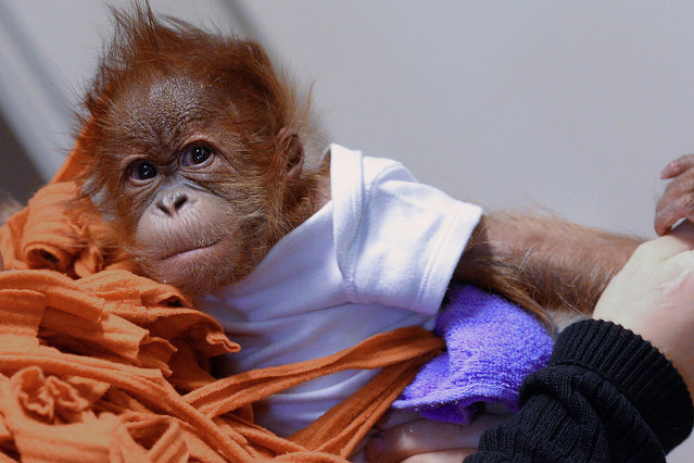 Three-month old orangutan baby Bulu Mata (literally: huge eyelashes) is prepared to travel to his new home, the Monkey World of Dorset, United Kingdom, by his Hungarian nurse Bernedett Marschalko at the Zoo and Botanic Garden in Budapest on December 8, 2014. The small monkey was orphaned when he was born. (Photo by Attila Kisbenedek/AFP Photo)