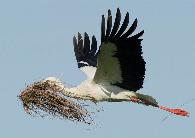 A white stork holds grass to make a nest on April 24, 2013 in Luetzelsee near Hombrechtikon, Switzerland. (Photo by Steffen Schmidt/EPA)