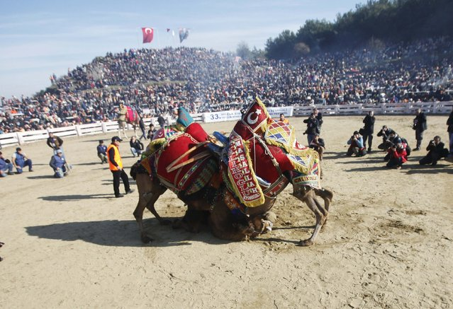 Two wrestling camels fight at the Pamucak arena during the Selcuk-Efes Camel Wrestling Festival in the town of Selcuk, near the western Turkish coastal city of Izmir January 18, 2015. (Photo by Osman Orsal/Reuters)
