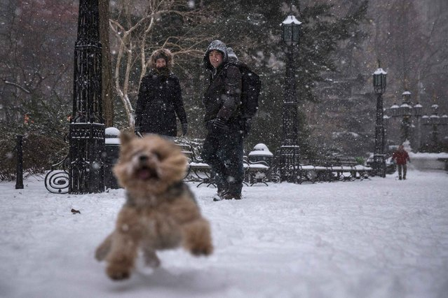 A woman and man observe a puppy playing in the snow during a snowstorm in the Financial District in Lower Manhattan, New York January 26, 2015. (Photo by Elizabeth Shafiroff/Reuters)