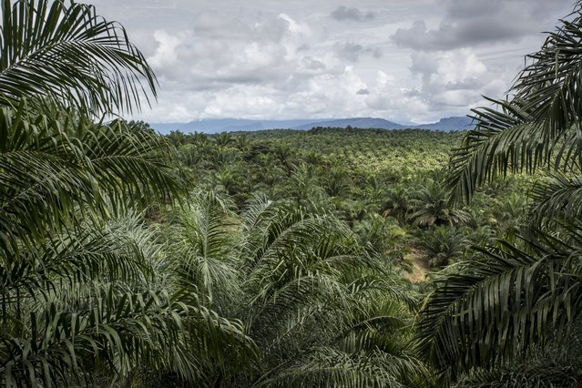 A view of palm oil plantation on November 13, 2016 in Trumon subdistrict, South Aceh, Aceh province, Indonesia. (Photo by Ulet Ifansasti/Getty Images)
