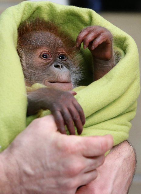 Three week old female orangutan baby Rieke is pictured during a presentation to the media at the Zoo in Berlin February 6, 2015. (Photo by Fabrizio Bensch/Reuters)
