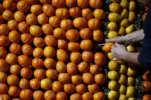 A worker puts the final touches to a pattern made with lemons and oranges during the preparations of the 82th Lemon festival in Menton February 12, 2015. (Photo by Eric Gaillard/Reuters)