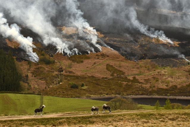 Sheep graze on the hillside as smoke is seen after a resurgence of the moor fire on Marsden Moor, near Huddersfield in northern England on April 27, 2021. 50 firefighters were deployed on April 25 to tackle the blaze with a mile-long flame front. Marsden Moor is a Site of Special Scientific Interest famous for rare ground-nesting birds and blanket peat bogs. (Photo by Oli Scarff/AFP Photo)