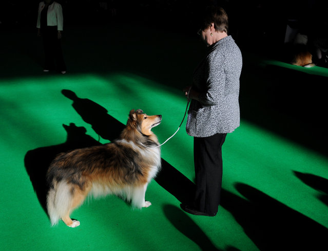 A collie (rough) competes on the second day of Crufts dog show at the National Exhibition Centre in Birmingham, England, Friday March 6, 2015. First held in 1891, Crufts is said to be the largest show of its kind in the world, the annual four day event features thousands of dogs competing for the coveted title of 'Best in Show'. (AP Photo/Rui Vieira)