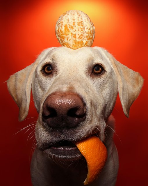 Winston with an orange on his head during one of his portraits. (Photo by Scott Cromwell/Caters News)