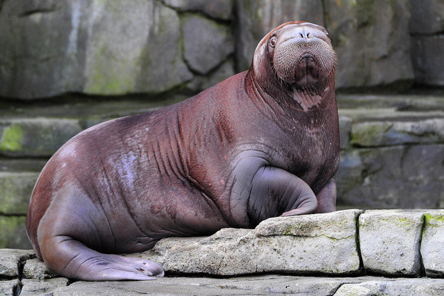 Walrus Baby Thor at the Hagenbeck Zoo in Hamburg on March 17, 2015. He is Germany's first walrus baby, date of birth: 06.15.2014 / 190 Kg weight now. (Photo by Werner Struss/Startraksphoto.com)
