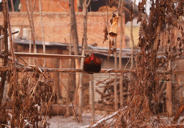 A rooster sits on a fence on a cold day in Srinagar, December 20, 2016. (Photo by Danish Ismail/Reuters)