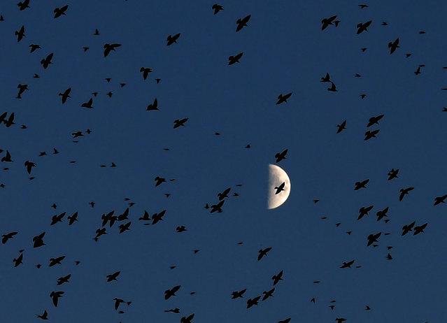 Starlings fly in the sky above Rome with the moon in background on November 15, 2018. (Photo by Tiziana Fabi/AFP Photo)