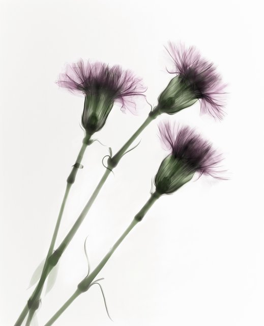 Carnations (Dianthus sp.), coloured X-ray. (Photo by Paula Fontaine/Barcroft Media)