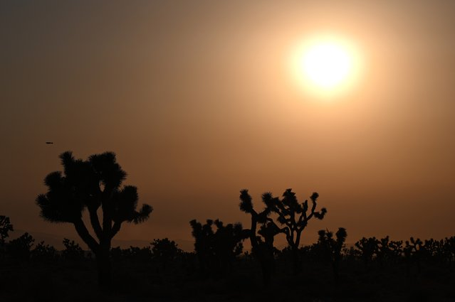 The sun sets behind Joshua Trees in Lancaster, California where temperatures reached 107 degrees Fahrenheit (41.6 degrees Celsius) today, July 12, 2021. Wildfires were burning across more than one million acres of the western United States and Canada on Monday, as scorching temperatures held their grip on areas reeling from a brutal weekend heat wave. (Photo by Robyn Beck/AFP Photo)