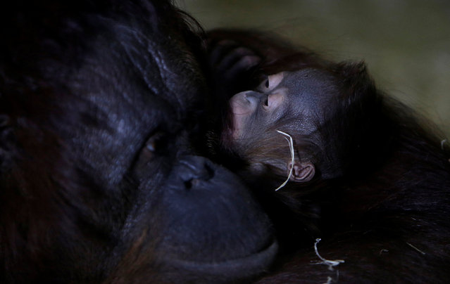 Nuninka, Bornean orangutan (Pongo pygmaeus), holds her newborn baby in its' enclosure at Usti nad Labem Zoo, Usti nad Labem, Czech Republic January 3, 2017. (Photo by David W. Cerny/Reuters)