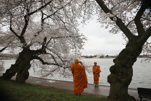 Two Buddhists monks take pictures in front of blooming Cherry Blossom trees at the Tidal Basin April 8, 2015 in Washington, DC. The Cherry trees around the Tidal Basin, which were originally gifts from Tokyo, Japan, in 1912, have started to bloom. They are predicted to be in full bloom in about couple more days, depend on how warm the weather will be. (Photo by Alex Wong/Getty Images)