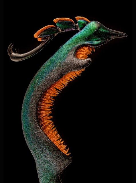 Honourable mention: the hind leg of a male frog-legged beetle (Sagra buqueti). (Photo by Dr Andrew Mark Posselt/University of California, San Francisco/Nikon Small World Photomicrography 2021)