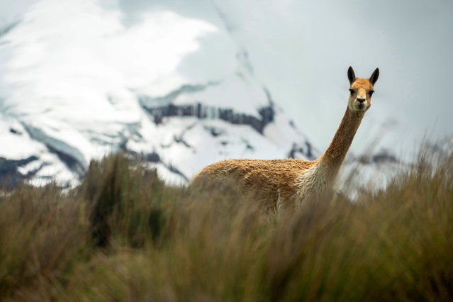 A vicuna roams at the foothill of the Chimborazo volcano, Ecuador's central Andes, on February 18, 2019. The Chimborazo and the Carihuairazo are two of the seven elevations that are losing their glacier coverage in Ecuador mainly due to the deforestation of the moorlands and burning of fossil fuels. (Photo by Pablo Cozzaglio/AFP Photo)