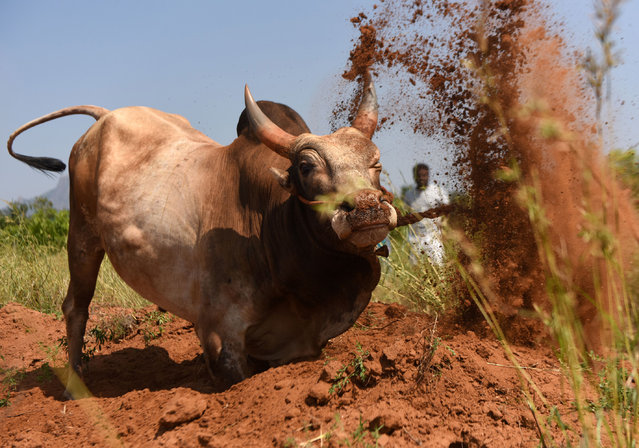 An Indian bull is trained by its owner ahead of the Jallikattu bull taming event, in the south Indian city of Madurai on Febuary 7, 2017. Week-long protests in January in Chennai prompted authorities to approve an executive order lifting a Supreme Court ban on the Jallikattu bull taming ritual. Residents of the southern state of Tamil Nadu maintained that the Jallikattu festival was a crucial part of their culture. (Photo by Arun Sankar/AFP Photo)