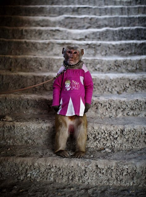 A trained monkey is held by a leash on the outskirts of Islamabad. (Photo by Muhammed Muheisen/Associated Press)