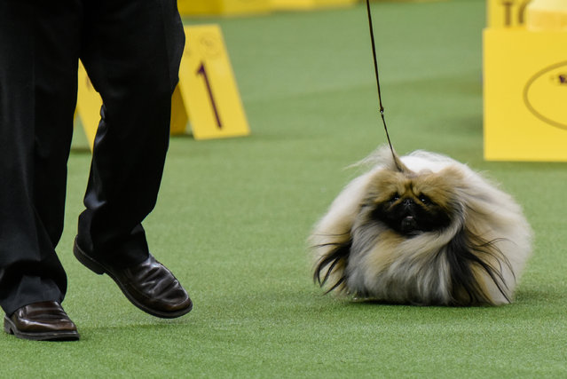 Chuckie, a Pekingese, wins the Toy group at the 141st Westminster Kennel Club Dog Show, in New York City, U.S. February 13, 2017. (Photo by Stephanie Keith/Reuters)