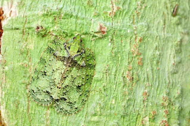 Lichen-mimicking flatid hopper. (Photo by Paul Bertner/Caters News)