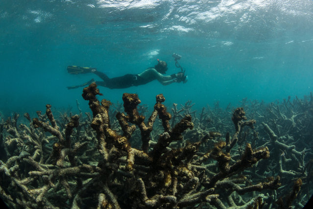 """In this May 2016 photo released by The Ocean Agency/XL Catlin Seaview Survey, an underwater photographer documents an expanse of dead coral at Lizard Island on Australia's Great Barrier Reef. There were startling colors here just a year ago, a dazzling array of life beneath the waves. Now this Maldivian reef is dead, killed by the stress of rising ocean temperatures. What's left is a haunting expanse of gray, a scene repeated in reefs across the globe in what has fast become a full-blown ecological catastrophe. The world has lost roughly half its coral reefs in the last 30 years. Scientists are now scrambling to ensure that at least a fraction of these unique ecosystems survives beyond the next three decades. The health of the planet depends on it: Coral reefs support a quarter of all marine species, as well as half a billion people around the world. """"This isn't something that's going to happen 100 years from now. We're losing them right now"""", said marine biologist Julia Baum of Canada's University of Victoria. """"We're losing them really quickly, much more quickly than I think any of us ever could have imagined"""". Even if the world could halt global warming now, scientists still expect that more than 90 percent of corals will die by 2050. Without drastic intervention, we risk losing them all. """"To lose coral reefs is to fundamentally undermine the health of a very large proportion of the human race"""", said Ruth Gates, director of the Hawaii Institute of Marine Biology. Coral reefs produce some of the oxygen we breathe. Often described as underwater rainforests, they populate a tiny fraction of the ocean but provide habitats for one in four marine species. Reefs also form crucial barriers protecting coastlines from the full force of storms. They provide billions of dollars in revenue from tourism, fishing and other commerce, and are used in medical research for cures to diseases including cancer, arthritis and bacterial or viral infections. Corals are invertebrates, livi"""