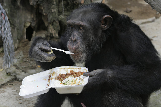 A chimpanzee eats its lunch using a spoon at Villa Lorena animal refugee center in Cali, Colombia October 20, 2009. (Photo by Jaime Saldarriaga/Reuters)