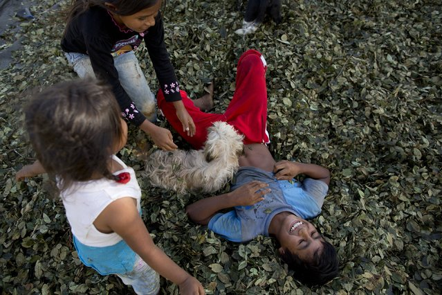 In this June 20, 2015 photo, kids play on a pile of coca leaves while helping their parents in the harvest of coca leaves in Samugari, Peru. Official figures show more than two-thirds of its inhabitants live in poverty while chronic malnutrition plagues about half of children under age 5. (Photo by Rodrigo Abd/AP Photo)