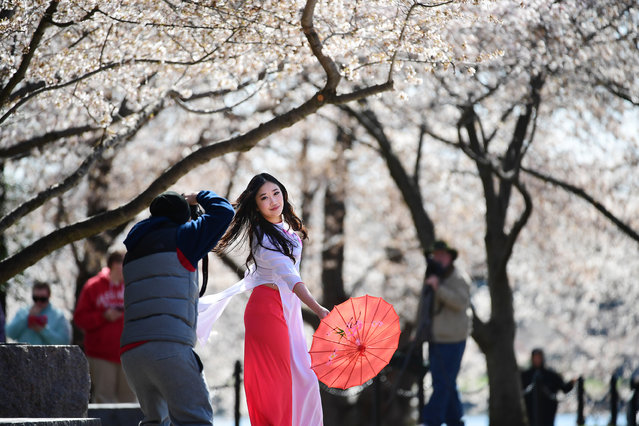 Sarah Bui poses for photographer, Brian Le around blossoming cherry trees, near the Tidal Basin on Thursday March 23, 2017 in Washington, DC. (Photo by Matt McClain/The Washington Post)