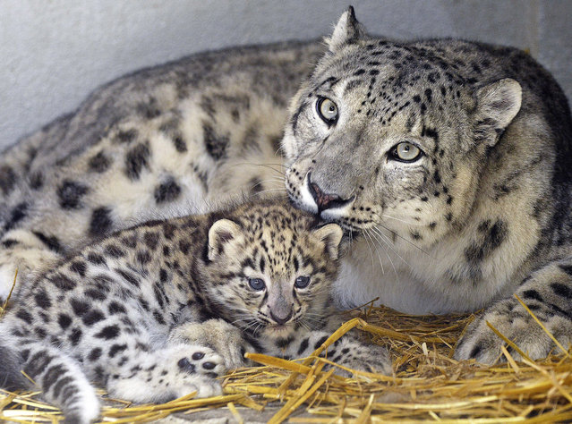 A baby snow leopard an his mother are presented to the public in Servion, Switzerland, 02 July 2015. The two baby snow leopards where born on 20 May 2015, yet nameless, are pictured in the Zoo of Servion. (Photo by Christian Brun/EPA)