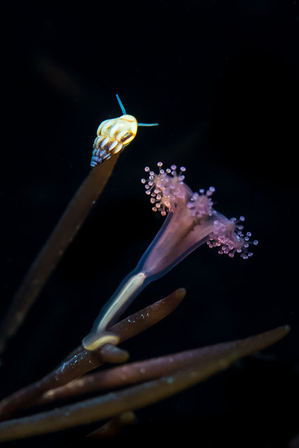 Coast and marine England category. Stalked Jellyfish and Rissoa Snail, taken in Kimmeridge Bay, Dorset by Paul Pettitt from Royston, Hertfordshire. (Photo by Paul Pettitt/British Wildlife Photography Awards/PA Wire Press Association)