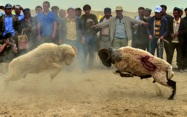 Tourists and local people watch a goat fight in Xinjiang, China on May 3, 2016. (Photo by Xinhua/Barcroft Images)