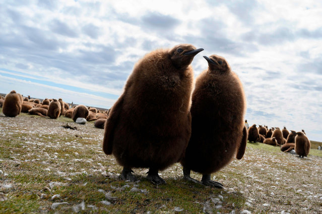 King penguin chicks are seen at Volunteer Point, north of Stanley in the Falkland Islands (Malvinas), a British Overseas Territory in the South Atlantic Ocean, on October 6, 2019. (Photo by Pablo Porciuncula Brune/AFP Photo)