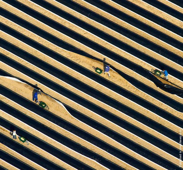 Aerial view taken on April 19, 2012 shows seasonal workers during the crop on an asparagus field near Beelitz, eastern Germany. The asparagus season was officially kicked off in the region well known for the production of the vegetable