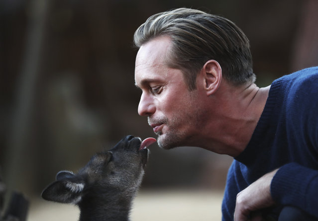Actor Alexander Skarsgard kisses a baby Kangaroo during the Legend of Tarzan Photo Call at WILD LIFE Sydney Zoo on June 14, 2016 in Sydney, Australia. (Photo by Ryan Pierse/Getty Images)