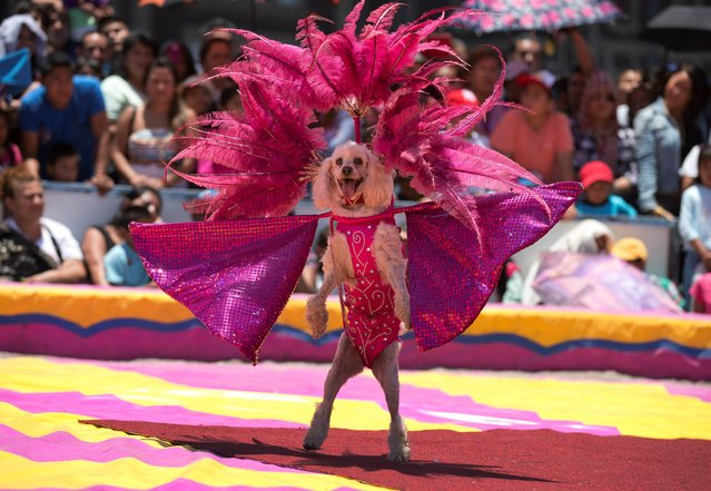 """A circus dog performs in costume during a free public show to protest Mexico City's ban on circus animals, other than horses and dogs, in Mexico City's main square, the Zocalo, Tuesday, July 22, 2014. Mexico's """"circus wars"""" are heating up, with a growing movement to ban circus animals meeting rising anger from circus workers. Circuses say threats of violence against them have been posted online. (Photo by Rebecca Blackwell/AP Photo)"""